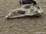 Strandjutten - schedel