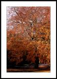 Beech Tree poster edges.jpg