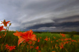 Tiger Lilies with Approaching Storm Front