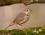 Grive solitaire / Hermit Thrush