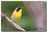 Parulines - Warblers