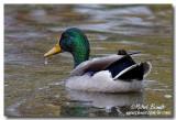 Canards - Ducks