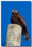 Buse pattue - Rough-legged Hawk