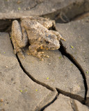 Leopard Frog and Mud