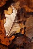 Oak Leaf and Puddle