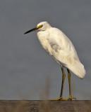Aigrette neigeuseSnowy Egret
