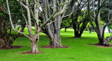 monster trees - Auckland Domain