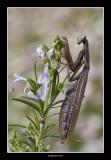 Mantis - Macro Foto