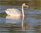 Tundra Swan  (juvenile)