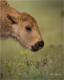 American Bison (calf)