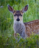 White tailed Fawn