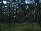 Slanted, windblown pines