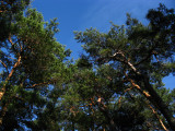 Blue sky over the treetops
