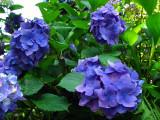 Violet blossoms in Dai-Ō Wasabi-nōjo