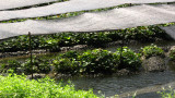 Wasabi plants along a freshwater stream