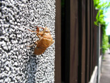 Molted cicada shell on a storehouse wall