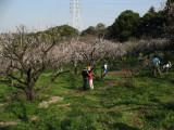 Rows of ume trees, Sōri-ike