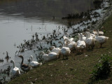 Geese beside the Răut