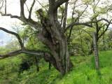 Decrepit old tree atop Furoshiro-yama
