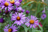 IMG_2474-Purple_Asters.jpg