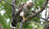 fledged coopers hawk
