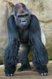 Western Lowland Gorilla IMGP3642.jpg