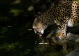 Cheetah IMGP3651.jpg