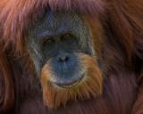 Orangutan IMGP3666.jpg