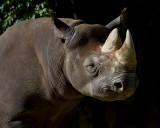 Black Rhino IMGP3653.jpg
