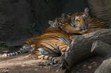 Malayan Tiger with cubs IMGP3652.jpg