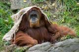 Orangutan IMGP3681.jpg