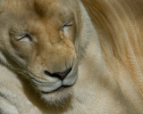 White Lioness IMGP3660.jpg
