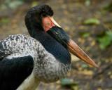 Saddlebill Stork IMGP3884.jpg