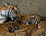 Malayan Tigers - mom and cubs IMGP3841.jpg