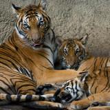 Malayan Tigers - mother and cubs IMGP3847.jpg