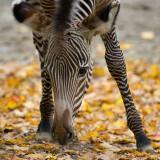 Grevys Zebra colt  IMGP3877.jpg