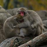 Japanese macaques IMGP3795.jpg