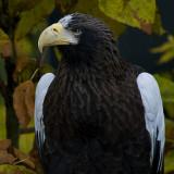 Stellers Sea Eagle IMGP3774.jpg
