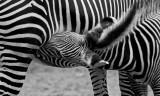 Grevys Zebra Colt Nursing IMGP3862.jpg