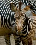 Grevys Zebra Colt IMGP3863.jpg