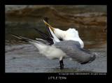 little_tern