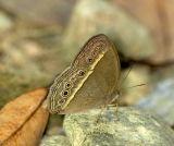 Dark-band Bush Brown ¤p¬Ü²´½º  Mycalesis mineus