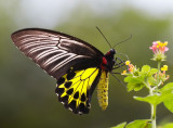 Common Birdwing (female) »n»ñ½º (»Û) Troides Helena