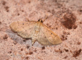Herpetogramma bipunctalis - Two-spotted Herpetogramma Moth