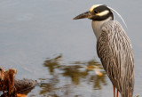 Yellow Crowned Night Heron, Ding Darling.jpg