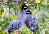 Yellow Crowned Night Heron pair, Ding Darling 1.jpg