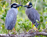 Yellow Crowned Night Heron pair, Ding Darling 4.jpg