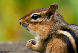 Chipmunk In Close