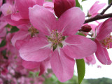 Apple Blossoms Canon S3IS IMG_1141.jpg
