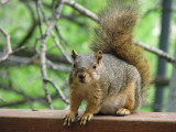 Fox Squirrel taken with Canon S3IS IMG_1157.jpg